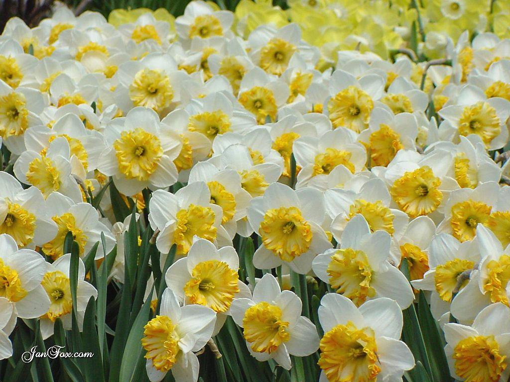 sarı beyaz çiçekler