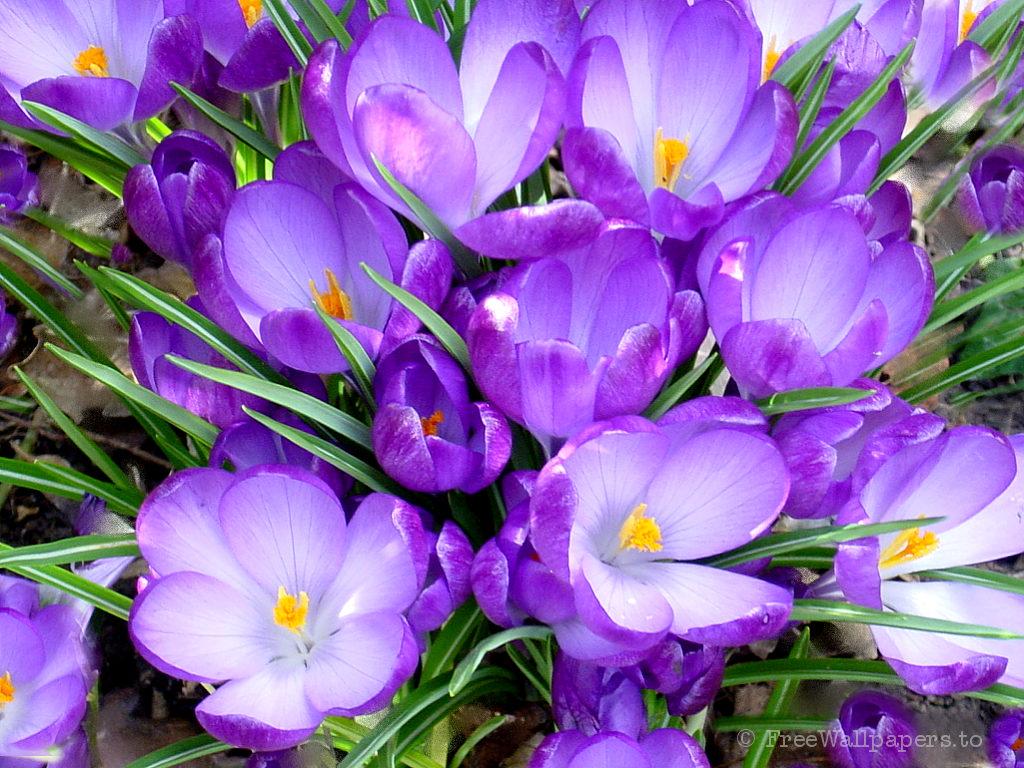 eflatun çiçek
