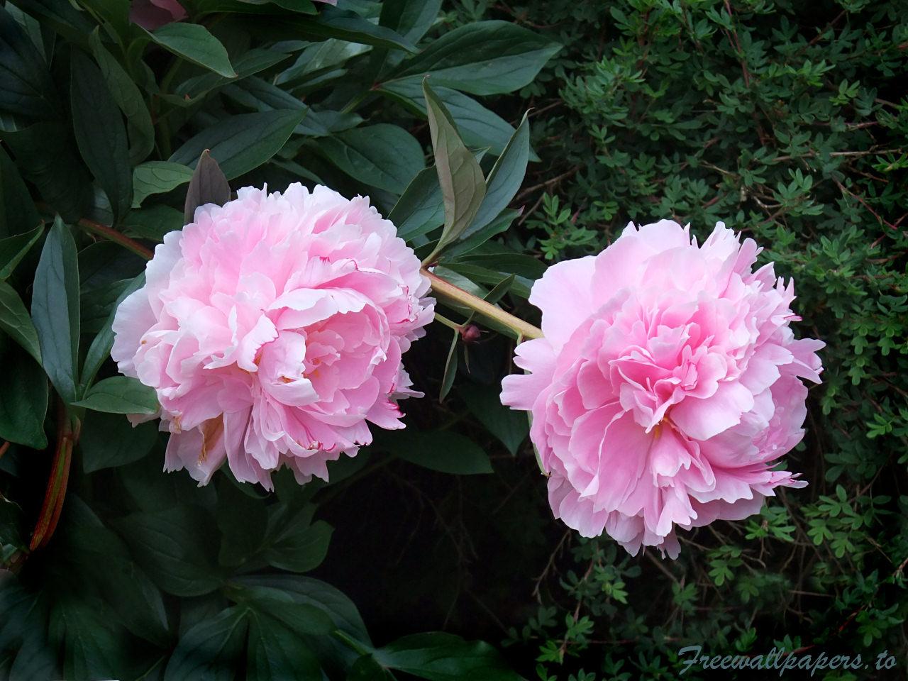 pembe çiçek resmi
