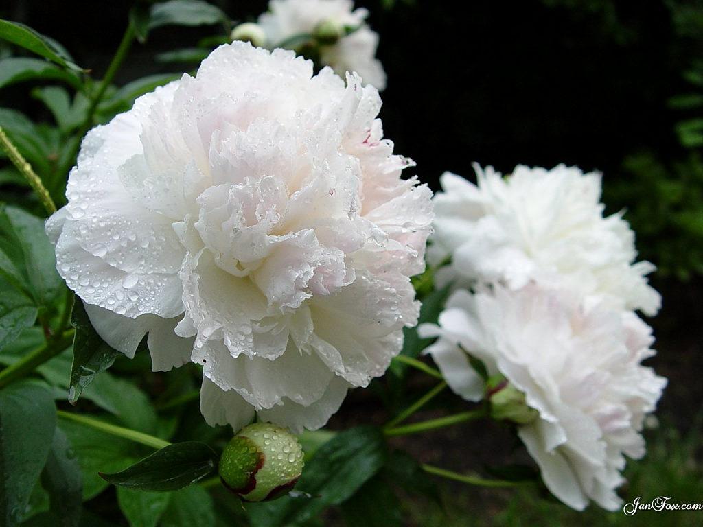 beyaz çiçek resmi