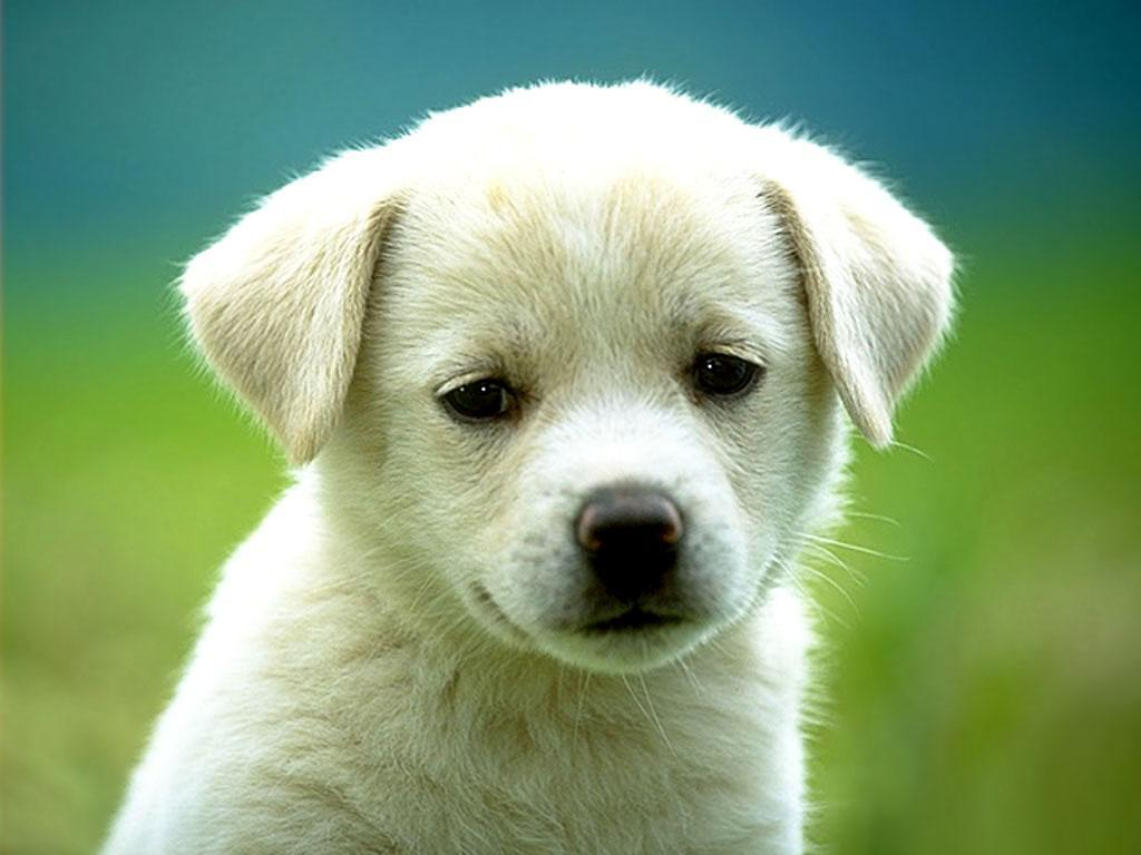 yavru sevimli köpek