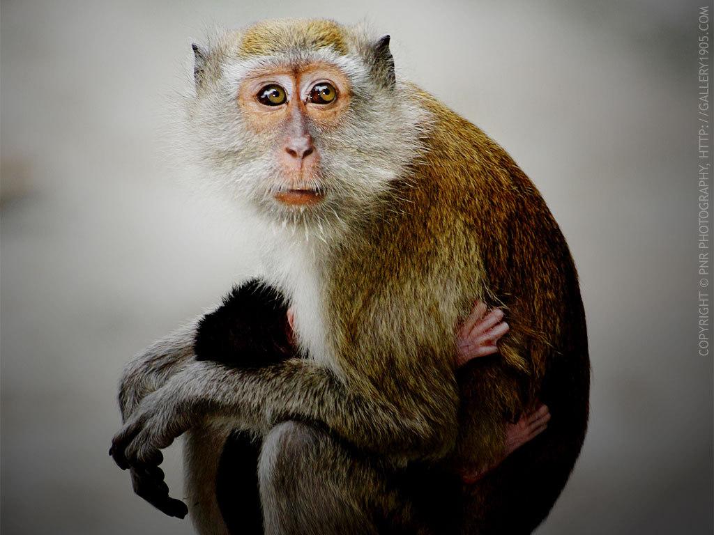 maymun resmi