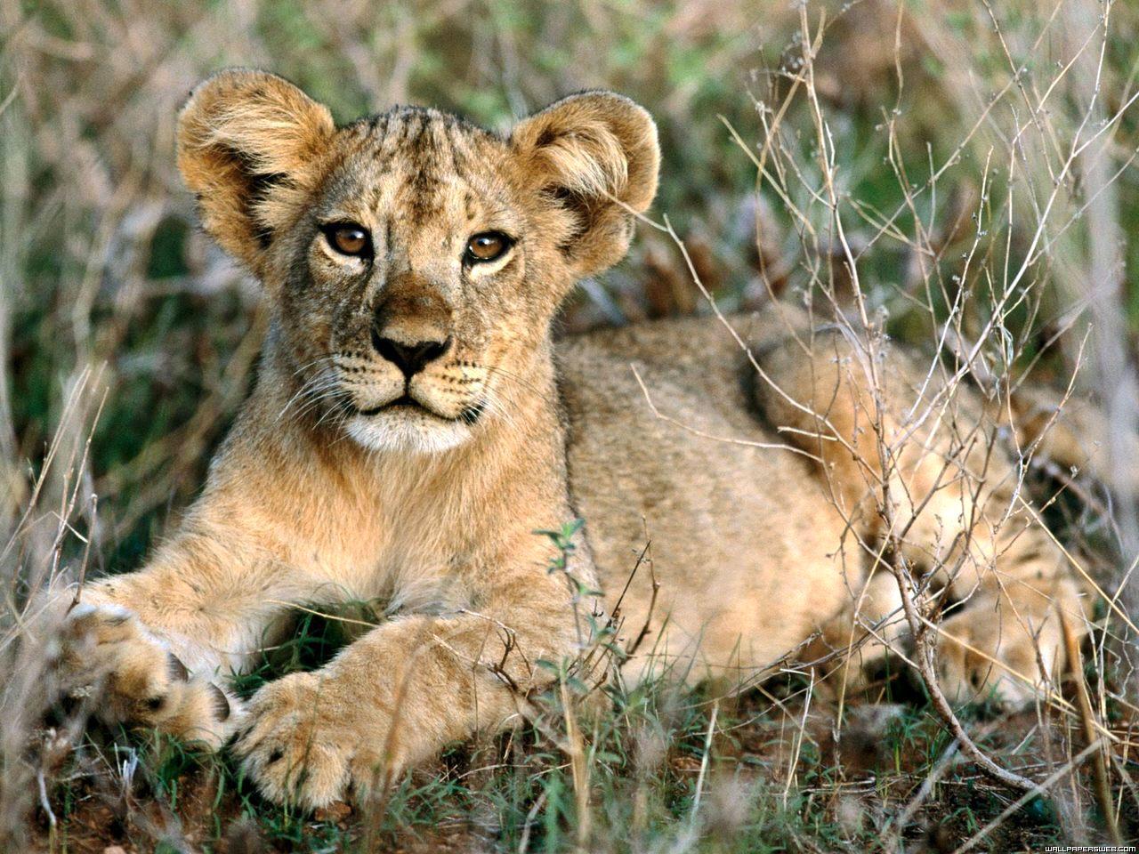 yavru aslan resmi