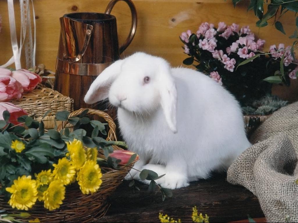 beyaz tavşan