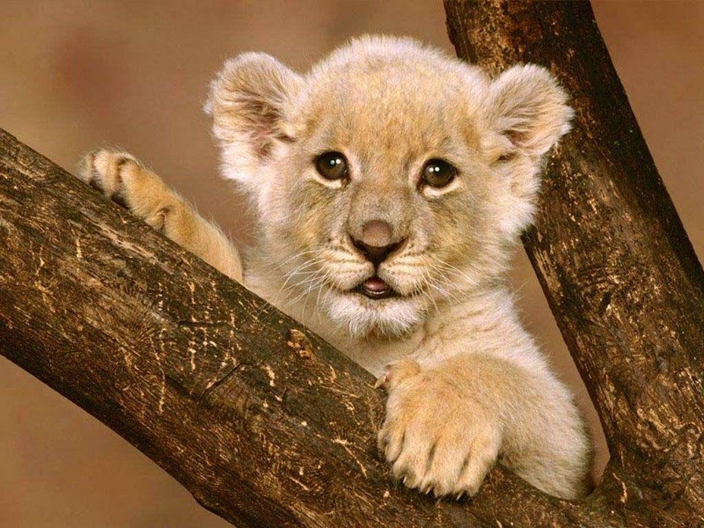 yavru aslan