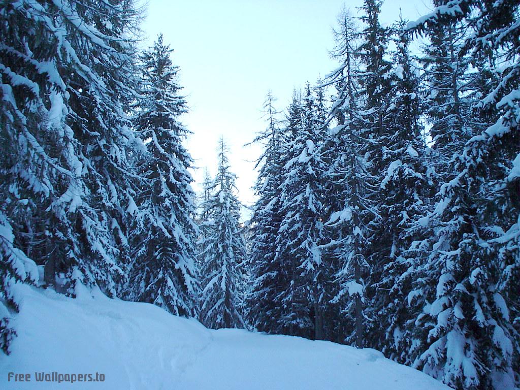 kışın karlı çam ağaçları