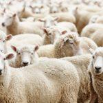 Kurban eti nasıl paylaşılmalıdır ? Usül ve Kurban ile ilgili soru-cevaplar…